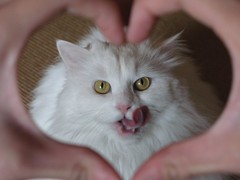 I love her :-) (mauzlover) Tags: white cat persian emily heart longhair katze whitecat perser felie emilly supershot instantfave kittysuperstar bestofcats superbmasterpiece beyondexcellence diamondclassphotographer flickrdiamond superhearts pet100 thebiggestgroupwithonlycats platinumheartaward mauzlover
