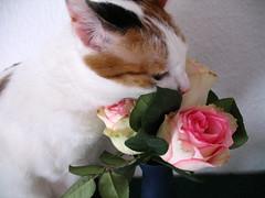 Sniffing roses. (Ragnhild_UR) Tags: flowers rose cat calico kaori april2007