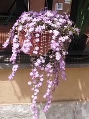 Tutta fiorita