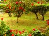 Hibiscus (pninaN) Tags: flowers red israel hibiscus haifa orton abigfave anawesomeshot favoritegarden flowerpicturesnolimits superhearts