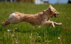 Look ma, I can fly!! (Russ Beinder) Tags: dog pet topv111 goldenretriever fly topv555 topv333 bc topc50 blond portcoquitlam castlepark challengeyouwinner pet100 2007050900051 bestofdogs