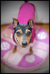 On a lilypad (UrbanDorothy) Tags: dog pet shower pup babyshower minpin 2007 mybabyshower maycee