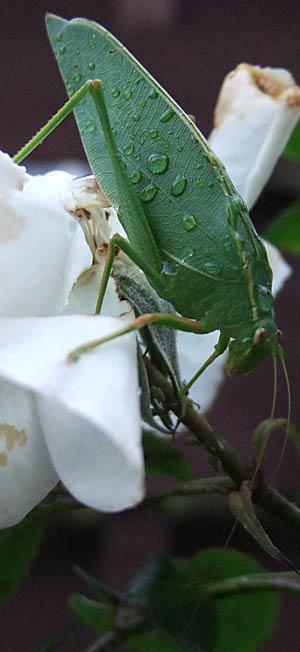 Katydid - Caedicia simplex