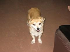 IMG_0498 (danghai2k) Tags: si mydoggy mydog