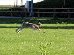 Rusakko (Lepus europaeus) (vesa@68) Tags: nature animals helsinki vuosaari