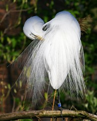Preening & Pretty (Little Laddie) Tags: bird nature wildlife great perched egret soe avian naturesfinest impressedbeauty avianexcellence flickrdiamond