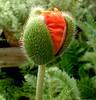 Tomorrow's Yesterday (The Challenge) Tags: red green bravo birth explore boris bnp novak naturesfinest thechallenge poppybud borisnovak