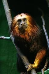 0033 (Blueorbit) Tags: monkey londonzoo goldenheadedliontamarin