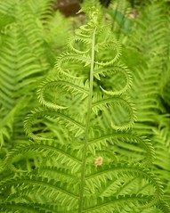 Curly Fern (Cowtools) Tags: fern washingtondc spring nationalarboretum naturesfinest fernvalley may2007