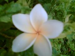 chafa (solarisgirl) Tags: flower chafa