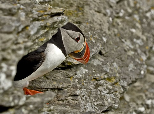 Puffin living under one of the 600 steps to the top