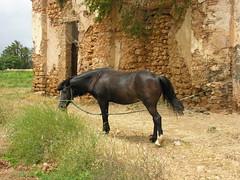 Cheval attaché au mur d'El Balaas