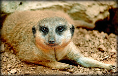 Heres Looking At You Kid (LIP_Photography (Karen Ackles)) Tags: africa wild portrait brown cute animal zoo rodent meerkat furry houston exhibit single playful meercat carnivore intelligent