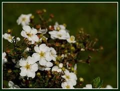 A bush full (Kirsten M Lentoft) Tags: white flower garden bush momse2600 potentil kirstenmlentoft