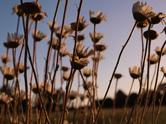 One summer afternoon (Chi Tranter) Tags: summer flowers daisy daisies sky season outdoors walk meadow