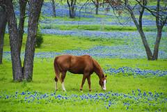A Bluebonnet Moment (Jeff Clow) Tags: horse bravo texas searchthebest quality meadow explore pasture dfw wildflowers bluebonnets sorrel naturesfinest magicdonkey flickrsbest animalkingdomelite abigfave diamondclassphotographer sugarridgeroad cjeffrclow copyrightedbyjeffrclowallrightsreservednounauthorizedusageallowed frjrc