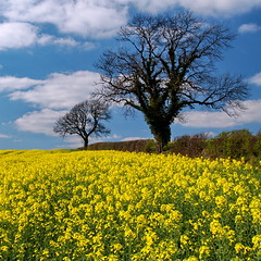 Oil-seed Rape (Roger B.) Tags: tree field yellow spring farm crop agriculture brassica hedgerow oilseedrape naturesfinest arable flickrsbest abigfave impressedbeauty
