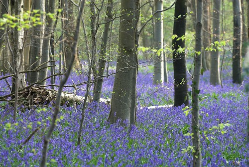 Bluebells - Sussex