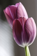 two tulips (Studio Antwan) Tags: flowers flower macro petals purple 100mm tulip excellence naturesfinest interestingness174 interestingness112 impressedbeauty
