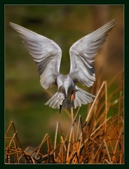 Nature's Angel (hvhe1) Tags: bird nature animal angel spain bravo searchthebest quality wildlife interestingness1 outstandingshots flickrsbest caadadelospjaros specanimal animalkingdomelite outstandingshotshighlight hvhe1 hennievanheerden avianexcellence bratanesque