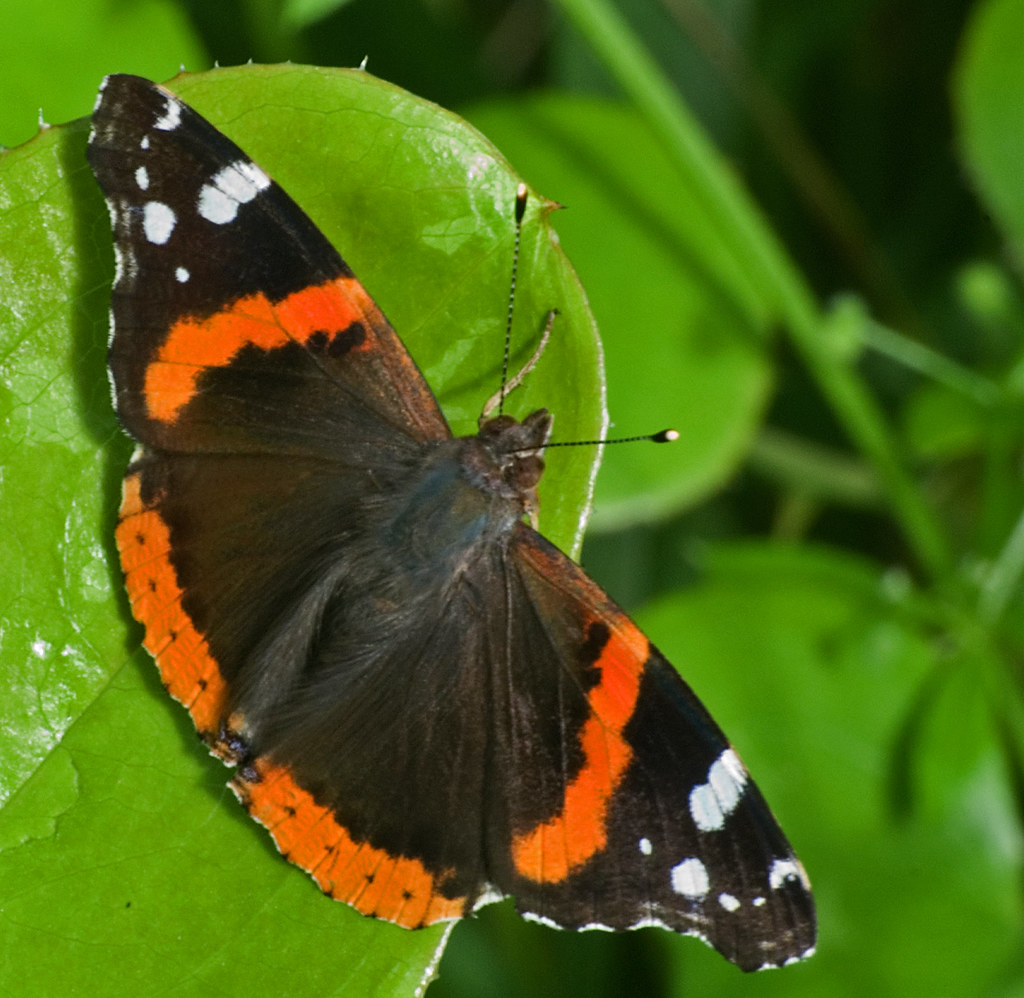 Red admiral on a new cat-brier leaf