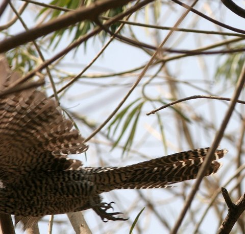 How not to take a pic of a Female Asian Koel