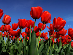 Red Tulips Against Sky (scott photos) Tags: flowers blue red sky flower holland netherlands fleur dutch fleurs landscape rouge blauw tulips blossom nederland panasonic bleu ciel tulip bloom getty rood paysbas hemel fz30 tulipe tulpen redtulips tulp tulipes hollande redtulip byscottphotos