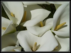 Calla Heaven (Kirsten M Lentoft) Tags: sunlight white flower garden lily calla zantedeschia impressedbeauty momse2600 kirstenmlentoft