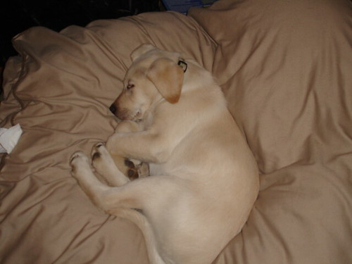 yellow lab'
