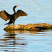 Double-crested Cormorant Bat Impressions