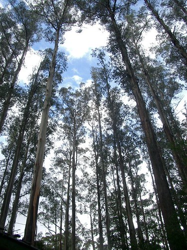 Mountain Ash - Sherbrooke Forest, Dandenong Ranges