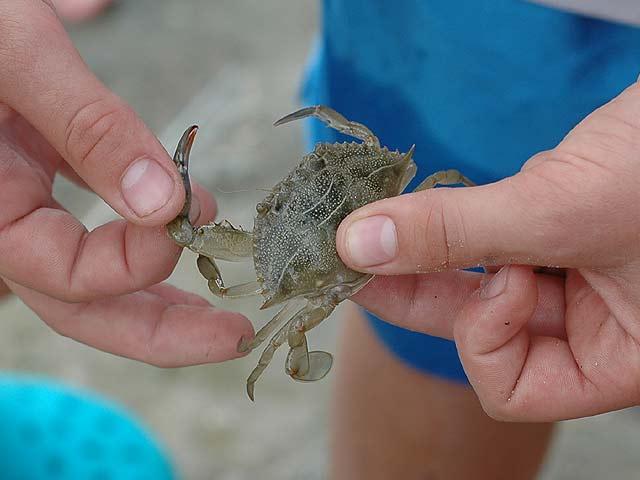 McCamping  Blue Crab.