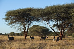 Zebra savanna