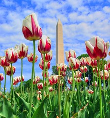 Tulips and the Monument (` Toshio ') Tags: flowers usa monument mall washingtondc dc washington districtofcolumbia tulips washingtonmonument hdr toshio superaplus aplusphoto potwkkc36
