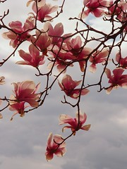 DSC02610 Magnolias (ftoomschb - I block industrial-strength followers) Tags: pink flowers sky ny flores tree nature beauty clouds arbol spring cloudy explore cielo hydepark 60 magnolias naturesfinest rmvittia