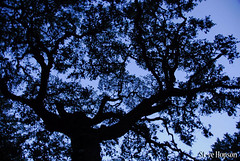 Oak Tree at Dusk (Steve Hopson) Tags: trees austin landscape geotagged twilight oak texas dusk austintexas eeyores oaktree shoalcreek texaslandscape stevehopsoncom themightyoaktree statelyoak texaslandcapes