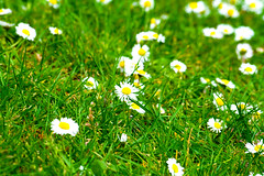Daisys Upon The Lawn (Josh Holmes Photography) Tags: flowers school summer white plant hot nature colors grass yellow contrast garden spring warm colours bright lawn grow seed highcontrast adventure chain explore soil short heat daisy gree turf