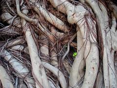 Entangled (Hidhea) Tags: tree nature twines