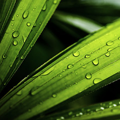 afternoon blessings (DocTony Photography) Tags: plant green nature leaves rain leaf drops bravo philippines palm manila raindrops interestingness2 naturesfinest magicdonkey outstandingshots abigfave superaplus aplusphoto doctony bratanesque explore10may2007