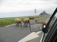 Les moutons au mont st-michel