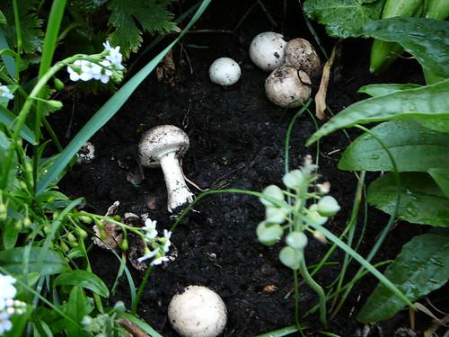Pilze im Hügelbeet (02)