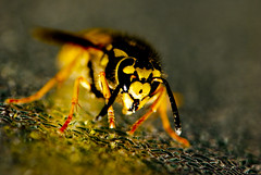 Wasp colors by quinet, on Flickr