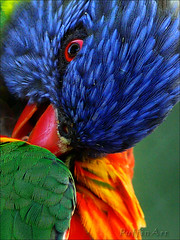 Rainbow Lorikeet (PuffinArt) Tags: blue red verde green bird topf25 animal azul lumix colorful feathers lorikeet parrot panasonic vermelho ave puffinart lory rainbowlorikeet rgb papagaio fz30 colorido penas redbeak vandamalvig redbill bicovermelho specanimal loriidae specanimalphotooftheday irresistiblebeauty loriinae superbmasterpiece beyondexcellence diamondclassphotographer flickrdiamond brisbanebirds