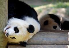 mother & daughter (jetrotz) Tags: sleeping wow zoo panda screensaver zooatlanta lunlun meilan