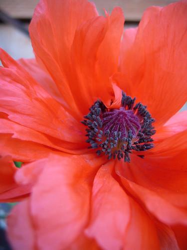 poppy_6251