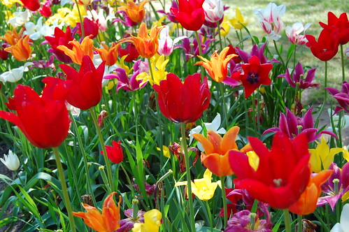A sampling of the Tulips