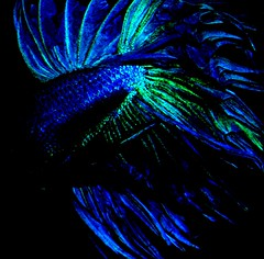 mwo_0176 (DigitalTribes) Tags: blue red fish water aquarium tank under siamese fisch fighting fin betta dt fins bettasplendens 2007 siamesefightingfish digitaltribes markoneil