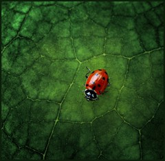 ladybug at home (jody9) Tags: garden leaf rainforest ladybug 10things naturesfinest abigfave artlibre goldenphotographer diamondclassphotographer utata:project=fromthetop