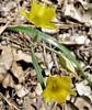 20070518 Yellow Star Tulip
