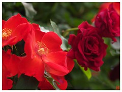 Rose 070520 #08